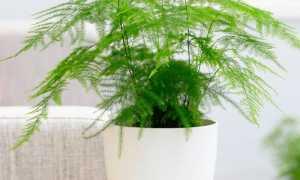 Аспарагус – Asparagus: фото, условия выращивания, уход и размножение