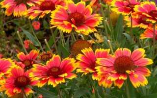 Цветок гайлардия многолетняя: посадка и уход, остистный вид