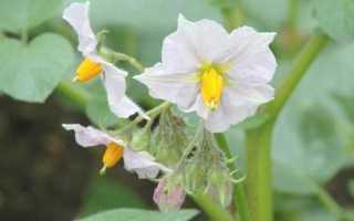 Цветок картофеля: лечебные свойства и противопоказания, как использовать
