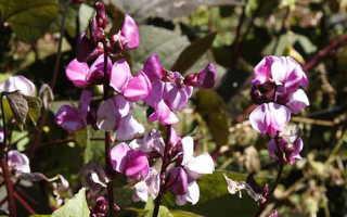 Долихос или гиацинтовые бобы или фиолетовые гирлянды: выращивание из семян