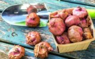 Гладиолусы: посадка и уход в открытом грунте, выращивание