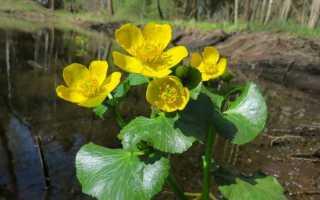 Калужница болотная: описание, полезные свойства, лечение цветами