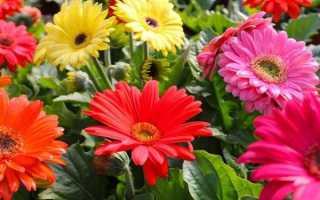 Гербера садовая: посадка и уход в открытом грунте, как вырастить
