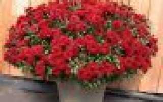 Кустовая хризантема: посадка и уход в открытый грунт, выращивание
