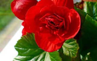 Бегония: родина растения, страна происхождения, октуда родом