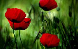 Мак: описание растения, полезные свойства и противопоказания, виды