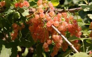 Сорта розовой смородины, их описание и характеристика