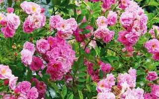 Плетистые и вьющиеся розы: посадка и уход в открытом грунте, выращивание, укрытие