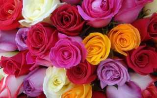Что означают цвета роз: бордовые, персиковые, нежно-розовые, красные, черные