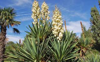 Юкка садовая: уход в саду, выкапывать ли на зиму, пересадка, размножение