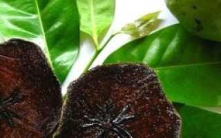 Черная сапота – выращивание фрукта на открытом участке