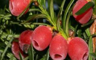 Тис ягодный: описание, уход и посадка, где растет тисс