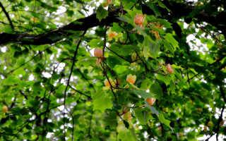 Тюльпановое дерево или лириодендрон тюльпановый: описание, как выглядит, виды