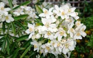 Хоизия – Choisya: фото, условия выращивания, уход и размножение