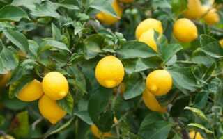 Уход за лимоном в домашних условиях: в горшке