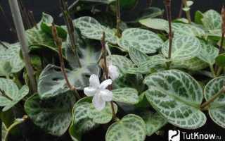 Хамерантемум – Chamaeranthemum: фото, условия выращивания, уход и размножение