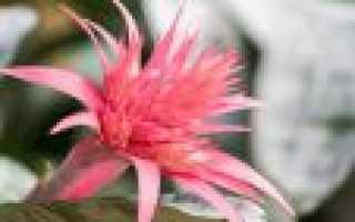 Цветок бромелия: как заставить цвести, уход в домашних условиях после цветения?