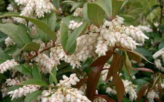 Леукотоэ рейнбоу – посадка и уход за кустарником, зимостойкость