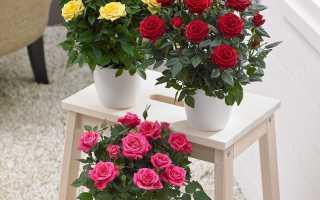 Чайные розы: уход в домашних условиях, посадка, полив, обрезка, подкормка