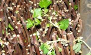 Кильчевание черенков винограда
