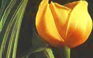 Орхидея ангулоя, описание, особенности выращивания