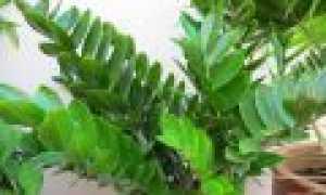 Особенности выращивания замиокулькаса