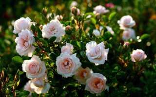 Кустовые розы: выращивание и уход, посадка, болезни и вредители