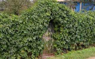 Живая изгородь из винограда