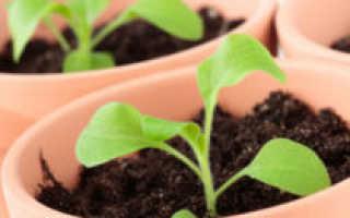 Петуния: когда и как сеять на рассаду, выращивание из семян