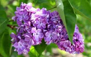 Сирень это дерево или кустарник: описание, популярные сорта