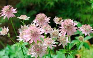 Астранция крупная: посадка и уход, размножение цветка