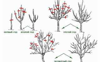 Обрезка домашнего лимона: как прищипывать и сформировать лимонное дерево