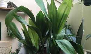 Аспидистра – родина растения, интересные факты, что символизирует, видео