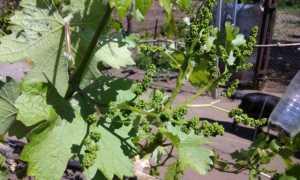 Весенние обработки винограда