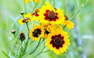 Многолетний кореопсис: посадка и уход, мутовчатый, красильный, крупноцветковый
