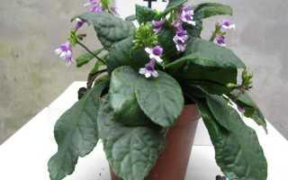 Тетранема – Tetranema: фото, условия выращивания, уход и размножение