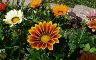 Гацания: выращивание из семян, когда сажать цветок, посадка и уход в открытом грунте