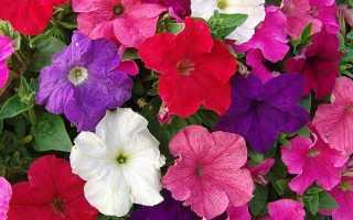 70 гибридных сортов петунии с описанием: крупноцветковая, многолетняя, многоцветковая