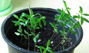 Как вырастить мирт из семян в домашних условиях