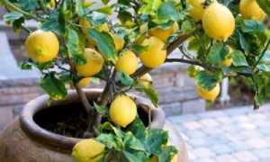 Земля для лимона в домашних условиях: какой грунт нужен?