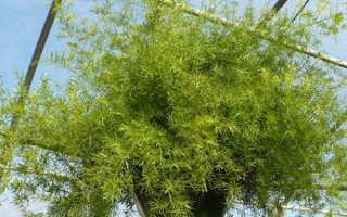 Аспарагус: родина комнатного растения и лучшие виды