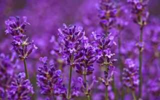 10 красивых растений с фиолетовыми цветками: названия, описание и фото