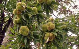 Дерево каштан: описание, посадка и уход