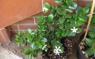 Карисса – Carissa: фото, условия выращивания, уход и размножение