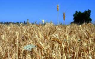 Пшеница – правила обработки от сорняков фунгицидами, сроки, видео