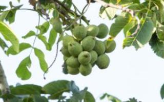 Медный купорос – применение для обработки грецкого ореха, сроки, видео