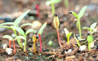 Целозия гребенчатая: выращивание из семян, когда сажать, 6 лучших видов