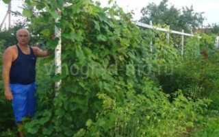 75 кустов винограда на сотку