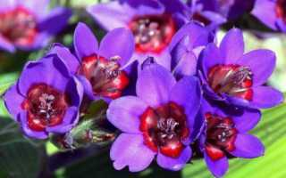Луковичные цветы домашние названия