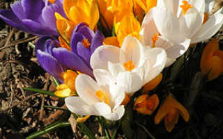 Шафран или крокус: описание цветка и его полезные свойства